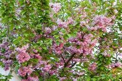 ανθίζοντας δέντρο κερασιών Στοκ Εικόνες