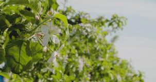 ανθίζοντας δέντρο κλάδων μ απόθεμα βίντεο