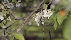 ανθίζοντας δέντρο κλάδων απόθεμα βίντεο