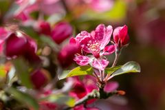 ανθίζοντας δέντρο μήλων Διαποτισμένα ρόδινα λουλούδια και πράσινα φύλλα με το θολωμένο υπόβαθρο Στοκ φωτογραφίες με δικαίωμα ελεύθερης χρήσης
