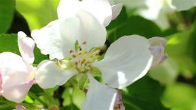 ανθίζοντας δέντρο μήλων Μακρο βλασταημένο άσπρο λουλούδι στον αέρα απόθεμα βίντεο