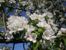 ανθίζοντας δέντρο μήλων στοκ φωτογραφίες