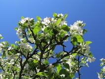 ανθίζοντας δέντρο μήλων Στοκ εικόνα με δικαίωμα ελεύθερης χρήσης