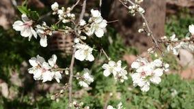 Ανθίζοντας δέντρο με μια μέλισσα απόθεμα βίντεο
