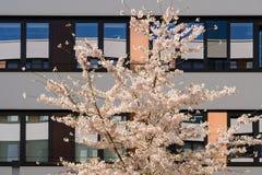 Ανθίζοντας δέντρο μηλιάς άνοιξη στον εσωτερικό κήπο του σύγχρονου κτιρίου γραφείων Στοκ Φωτογραφία