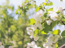 Ανθίζοντας δέντρο μηλιάς, άσπρα λουλούδια στοκ εικόνα με δικαίωμα ελεύθερης χρήσης