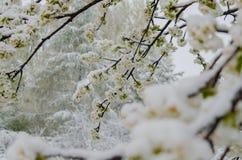 Ανθίζοντας δέντρο μηλιάς και χιόνι Στοκ φωτογραφία με δικαίωμα ελεύθερης χρήσης
