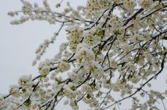 Ανθίζοντας δέντρο μηλιάς και χιόνι Στοκ φωτογραφίες με δικαίωμα ελεύθερης χρήσης