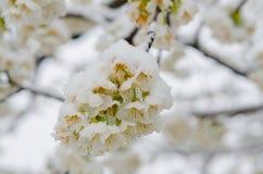 Ανθίζοντας δέντρο μηλιάς και χιόνι Στοκ Εικόνες
