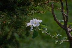 Ανθίζοντας δέντρο μηλιάς στις ακτίνες του φωτός του ήλιου Άνοιξη στη Βαυαρία στοκ εικόνες