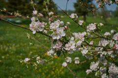 Ανθίζοντας δέντρο μηλιάς στις ακτίνες του φωτός του ήλιου Άνοιξη στη Βαυαρία στοκ φωτογραφία