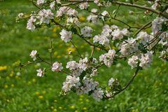 Ανθίζοντας δέντρο μηλιάς στις ακτίνες του φωτός του ήλιου Άνοιξη στη Βαυαρία στοκ εικόνα