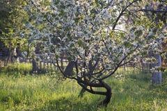Ανθίζοντας δέντρο μηλιάς στον ήλιο Στοκ Εικόνα