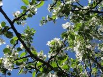 Ανθίζοντας δέντρο μηλιάς Στοκ εικόνα με δικαίωμα ελεύθερης χρήσης