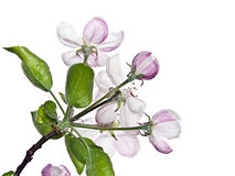 Ανθίζοντας δέντρο μηλιάς Στοκ Φωτογραφία