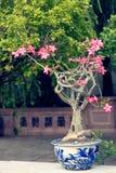 Ανθίζοντας δέντρο μπονσάι σε Hoi Στοκ φωτογραφία με δικαίωμα ελεύθερης χρήσης