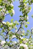 ανθίζοντας δέντρο ουρανού κλάδων ανασκόπησης μήλων Στοκ φωτογραφία με δικαίωμα ελεύθερης χρήσης
