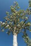 Ανθίζοντας δέντρο που χρωματίζεται άσπρο με τη λεωφόρο ηλιοβασιλέματος χρωμάτων ασβέστη στοκ φωτογραφία