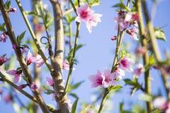 Ανθίζοντας δέντρο ροδακινιών άνθισμα κλάδων Στοκ εικόνες με δικαίωμα ελεύθερης χρήσης