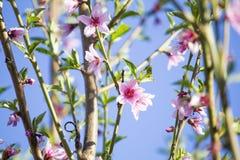 Ανθίζοντας δέντρο ροδακινιών άνθισμα κλάδων Στοκ Εικόνες
