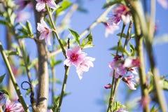 Ανθίζοντας δέντρο ροδακινιών άνθισμα κλάδων Στοκ φωτογραφία με δικαίωμα ελεύθερης χρήσης