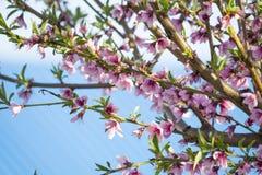 Ανθίζοντας δέντρο ροδακινιών άνθισμα κλάδων Στοκ Φωτογραφία