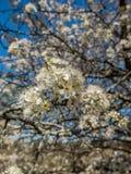 Ανθίζοντας δέντρο την άνοιξη Στοκ Εικόνες