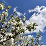 Ανθίζοντας δέντρο της Apple ενάντια στον μπλε νεφελώδη ουρανό στα ξημερώματα Στοκ φωτογραφία με δικαίωμα ελεύθερης χρήσης