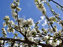 Ανθίζοντας δέντρο της Apple ενάντια στον μπλε νεφελώδη ουρανό στα ξημερώματα Στοκ Εικόνα