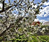 Ανθίζοντας δέντρο της Apple ενάντια στον μπλε νεφελώδη ουρανό στα ξημερώματα Στοκ εικόνα με δικαίωμα ελεύθερης χρήσης
