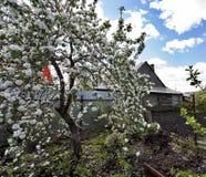 Ανθίζοντας δέντρο της Apple ενάντια στον μπλε νεφελώδη ουρανό Στοκ Εικόνα