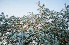 Ανθίζοντας δέντρο της Apple ενάντια στον ουρανό, αγροτική σκηνή Στοκ Εικόνες