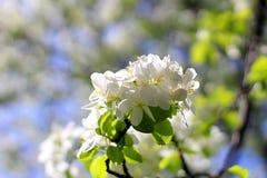 Ανθίζοντας δέντρο της Apple ενάντια την άνοιξη Στοκ Εικόνες