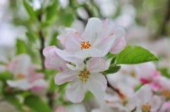 Ανθίζοντας δέντρο της Apple ενάντια την άνοιξη Στοκ Φωτογραφία