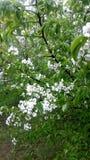 Ανθίζοντας δέντρο της Apple σε έναν δημόσιο κήπο κοντά στα σπίτια Στοκ Φωτογραφίες