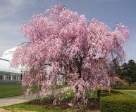 ανθίζοντας δέντρο στοκ εικόνα