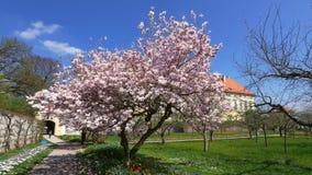 Ανθίζοντας δέντρο Magnolia magnolia φιλμ μικρού μήκους
