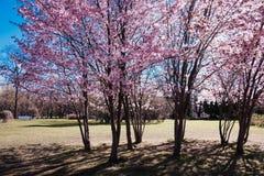 Ανθίζοντας δέντρο sakura στο κέντρο Pushkin Στοκ εικόνα με δικαίωμα ελεύθερης χρήσης
