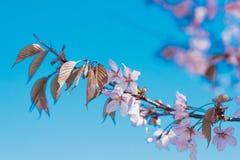 Ανθίζοντας δέντρο sakura στο κέντρο Pushkin Στοκ εικόνες με δικαίωμα ελεύθερης χρήσης