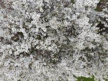 Ανθίζοντας δαμάσκηνο κερασιών Άσπρα λουλούδια των δέντρων δαμάσκηνων στο branche Στοκ φωτογραφίες με δικαίωμα ελεύθερης χρήσης