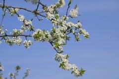 Ανθίζοντας δαμάσκηνο κερασιών Άσπρα λουλούδια των δέντρων δαμάσκηνων στους κλάδους ενός δέντρου στενό λευκό τουλιπών κόκκινων ανο Στοκ Φωτογραφίες
