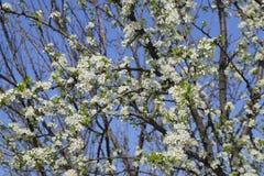 Ανθίζοντας δαμάσκηνο κερασιών Άσπρα λουλούδια των δέντρων δαμάσκηνων στους κλάδους ενός δέντρου στενό λευκό τουλιπών κόκκινων ανο Στοκ Εικόνα