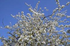 Ανθίζοντας δαμάσκηνο κερασιών Άσπρα λουλούδια των δέντρων δαμάσκηνων στους κλάδους ενός δέντρου στενό λευκό τουλιπών κόκκινων ανο Στοκ φωτογραφία με δικαίωμα ελεύθερης χρήσης
