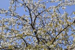 Ανθίζοντας δαμάσκηνο κερασιών Άσπρα λουλούδια των δέντρων δαμάσκηνων στους κλάδους ενός δέντρου στενό λευκό τουλιπών κόκκινων ανο Στοκ εικόνες με δικαίωμα ελεύθερης χρήσης