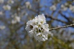 Ανθίζοντας δαμάσκηνο κερασιών Άσπρα λουλούδια των δέντρων δαμάσκηνων στους κλάδους ενός δέντρου στενό λευκό τουλιπών κόκκινων ανο Στοκ φωτογραφίες με δικαίωμα ελεύθερης χρήσης