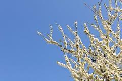 Ανθίζοντας δαμάσκηνο σε ένα υπόβαθρο του μπλε ουρανού Η έννοια του spri Στοκ Φωτογραφίες