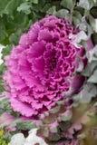 Ανθίζοντας διακοσμητικό πορφυρός-ρόδινο φυτό λάχανων κατσαρό λάχανο διακοσμητικό Φυσικό ζωηρό υπόβαθρο λάχανα διακοσμητικά Χειμερ στοκ εικόνες