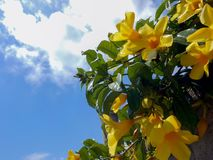 Ανθίζοντας δονούμενα κίτρινα λουλούδια Allamanda στοκ εικόνες