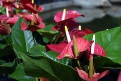 Ανθίζοντας εγκαταστάσεις Anthurium/φλαμίγκο των λουλουδιών Στοκ Εικόνες