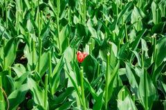 Ανθίζοντας ενιαία κόκκινη τουλίπα στον πράσινο χορτοτάπητα με τους μίσχους χωρίς τουλίπα Στοκ Φωτογραφίες